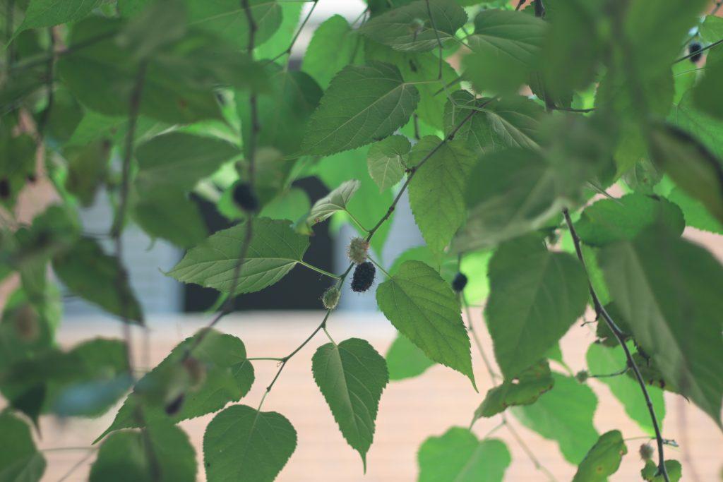 Cultivo Multiplicação da Planta Amoreira