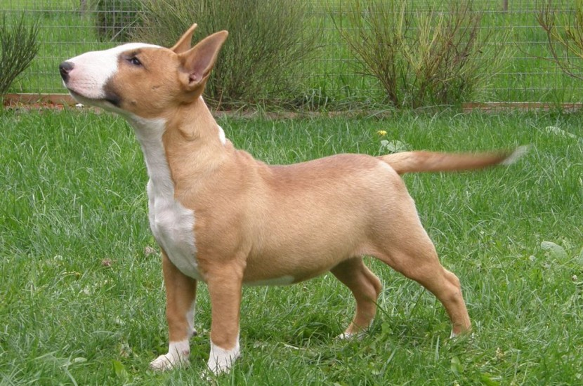 Pelagem do Mini Bull Terrier