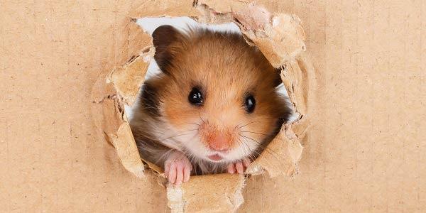 Rato Escondido