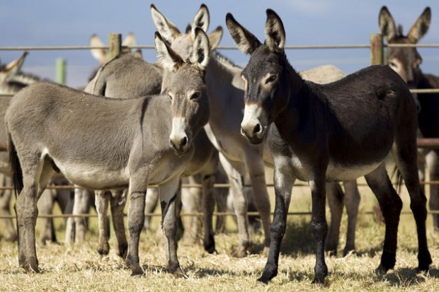 Burros Selvagens