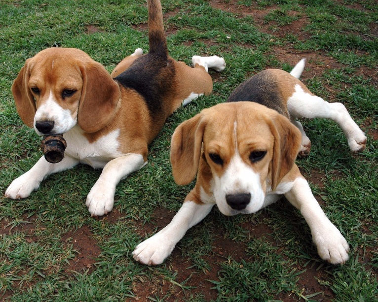 Características do Beagles