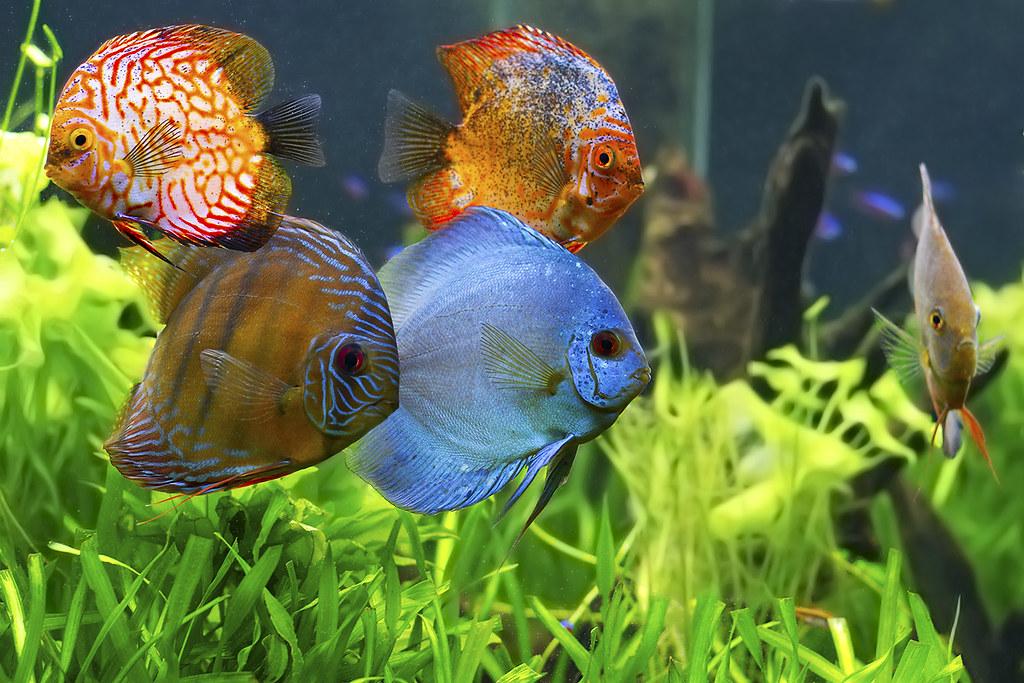 Criação de Peixe Acará