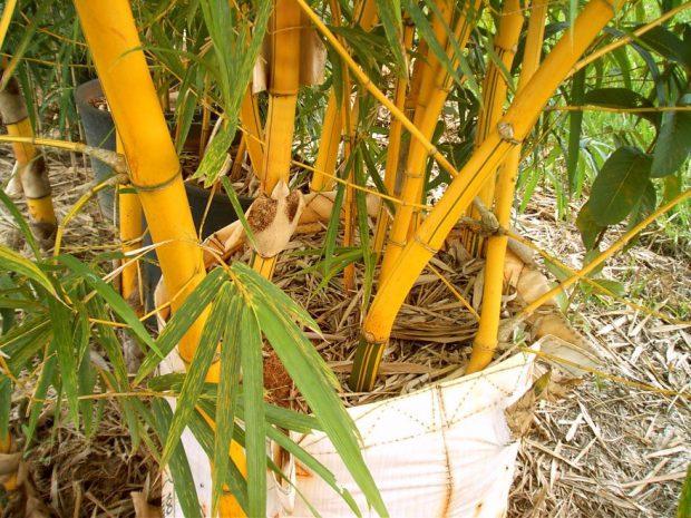 Bambu na Floresta