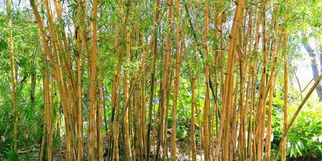 Tudo Sobre O Bambu – Características E Nome Científico