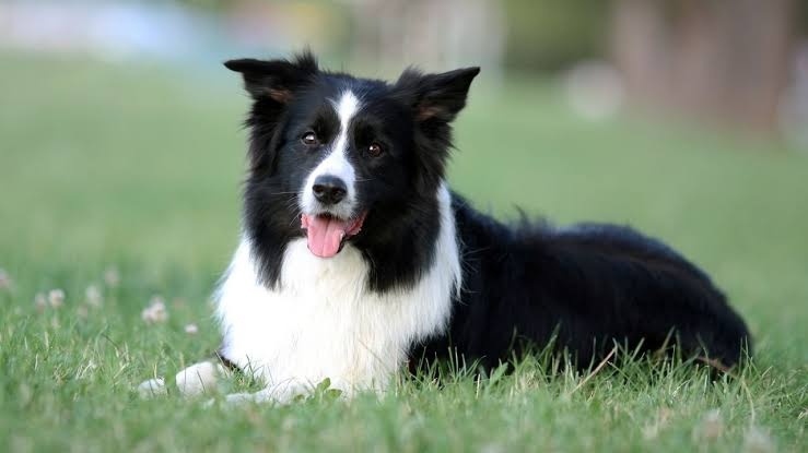 Border Collie Deitado na Grama