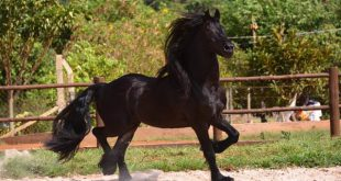 Cavalo Friesian no Pasto