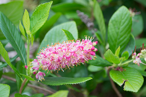Close na Clethra Alnifolia