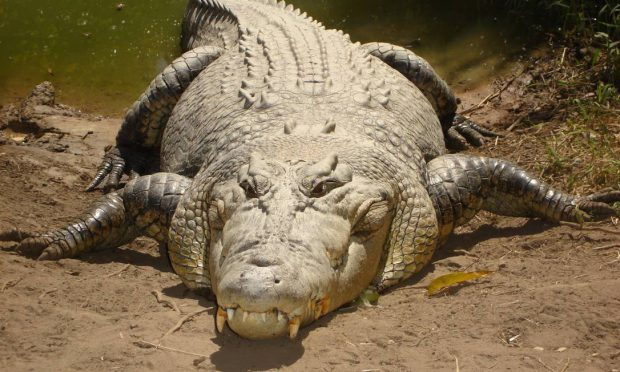Crocodiolo Com as Presas a Mostra