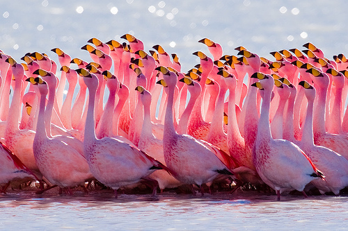 Flamingos James Rosa