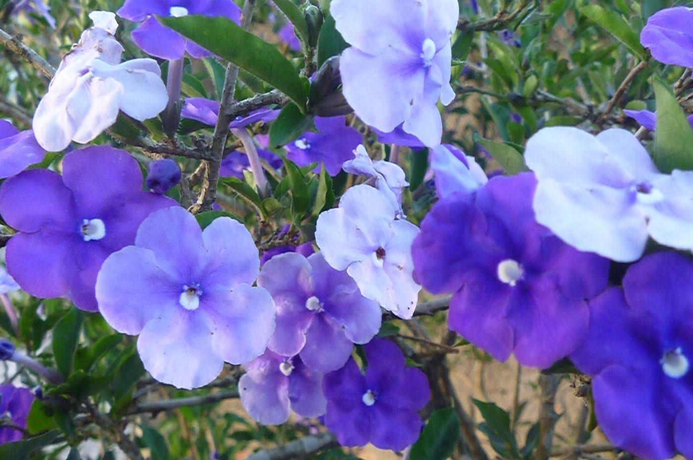 Manacá-de-Jardim - Família Solanaceae