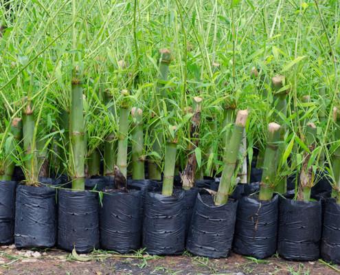 Muda de Bambu