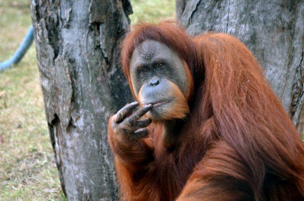 Orangotango Marrom-avermelhado