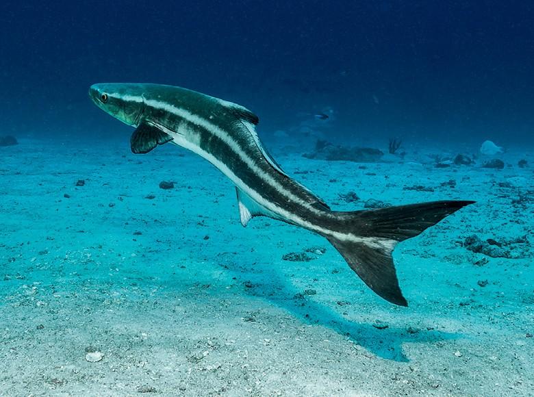 Peixe Bijupirá Habitat Natural