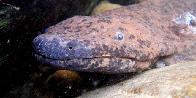 Salamandra Gigante Existe? É Venenosa? Onde Vivem?