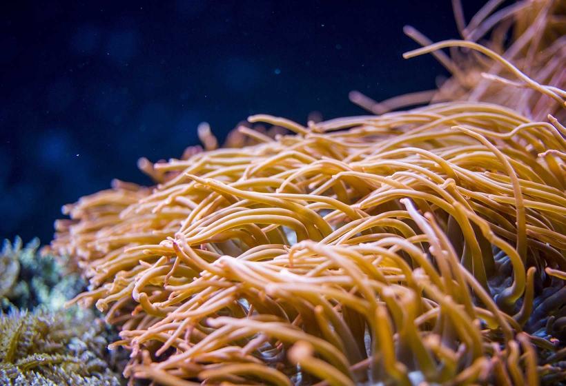 Anêmona do Mar