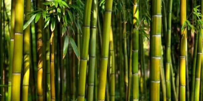 Bambu no Brasil: Historia, Quando Ele Veio Pra Cá e Como Chegou