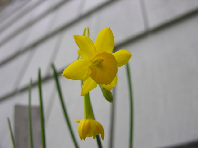 Narcissus Corcyrensis