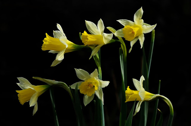 Narcissus Nevadensis