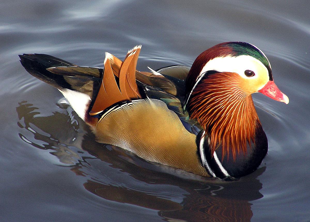Patos-Mandarins Na Cultura
